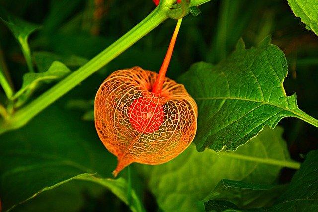 Chinese Lantern Plant Husk Fruit  - MabelAmber / Pixabay